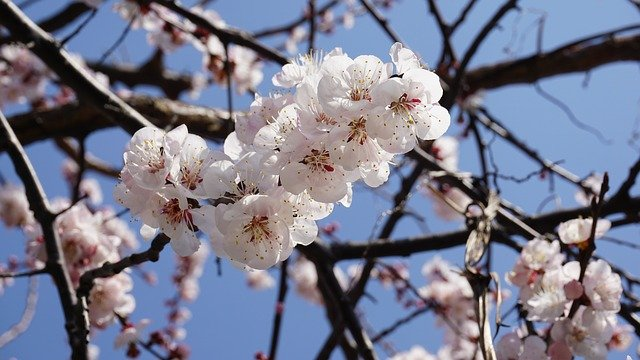meruňkový květ.jpg