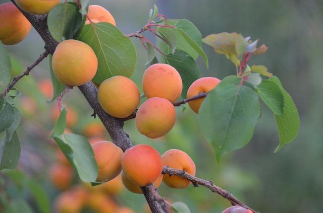 meruňky na stromě.jpg