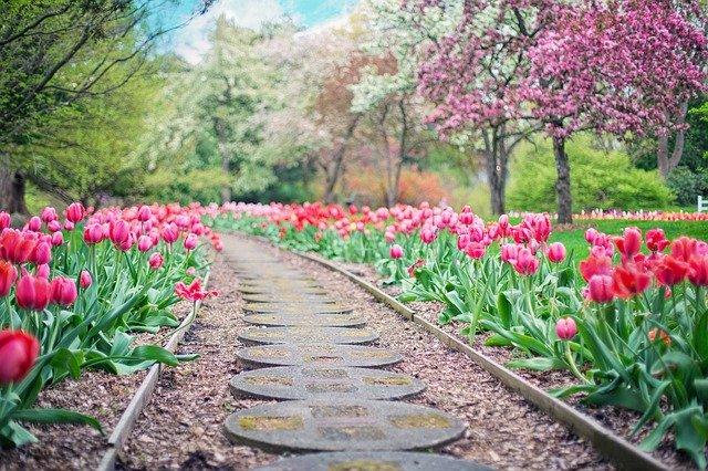 růžové tulipány  kolem cesty