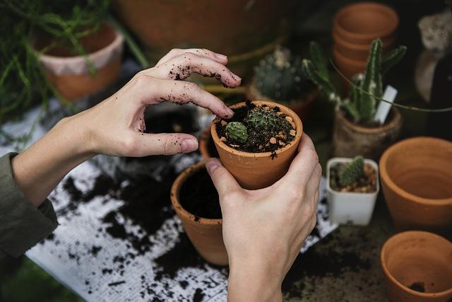 zasazování kaktusů
